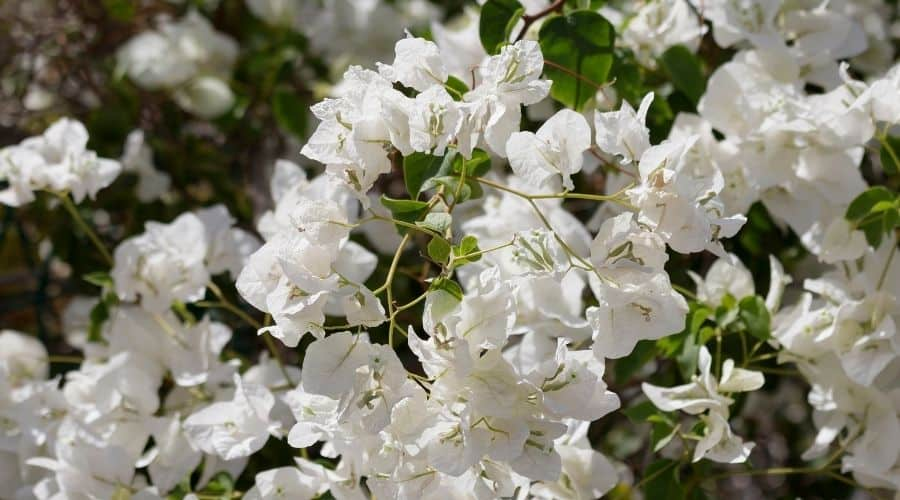Picture of white flowering shrub