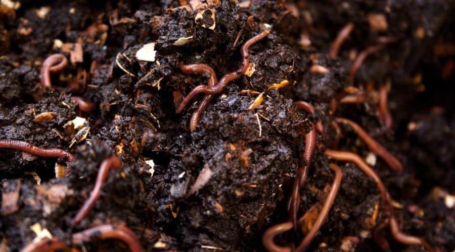 worms in worm bin