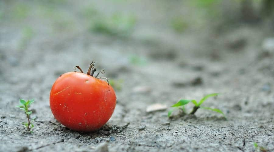 single red tomato on the soil after dropping off the plant