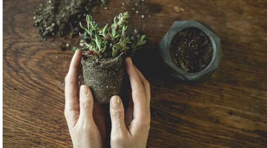 potted plant removed from pot and held in female hands