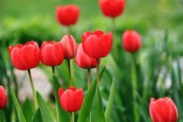 picture of red tulip flowers