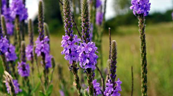 Picture of purple vervain