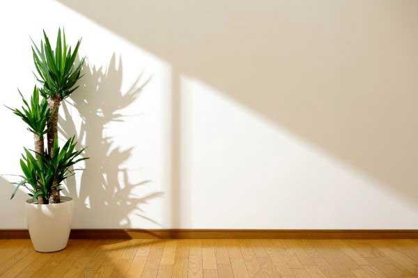 yaucca plant