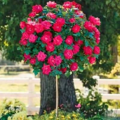 A picture of merchandize - a Double Knock Out Rose Tree