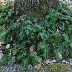 A picture of a American Wall Fern Plant