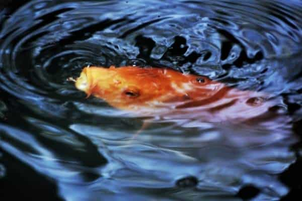 A picture of a yellow fish breaking the surface