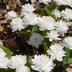A picture of a Bloodroot plant