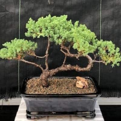 A picture of merchandize - a Bozai Tree