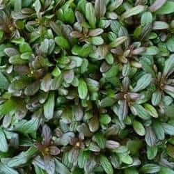 A picture of a Bugleweed plant