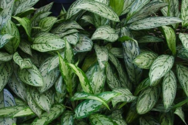 picture of chinese evergreen