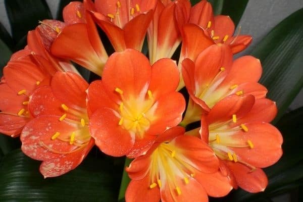 picture of clivia