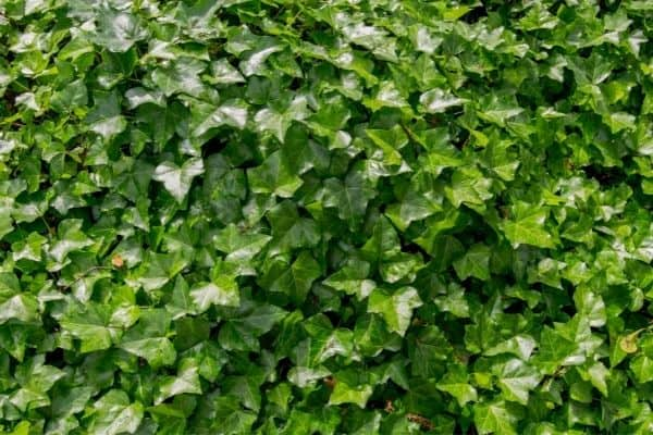 picture of english ivy