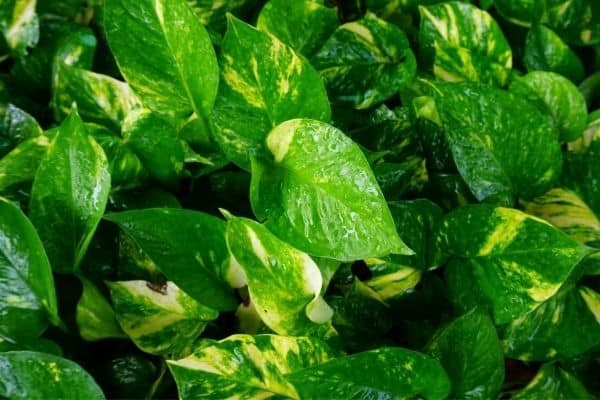 picture of golden pothos