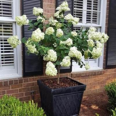 A picture of a Limelight Hydrangea Tree in a square pot in front of shuttered windows
