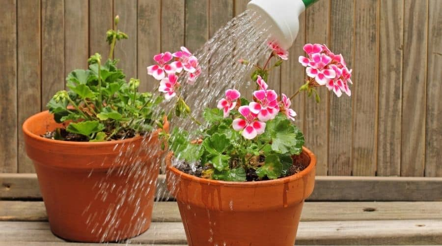 Picture of watering a plant