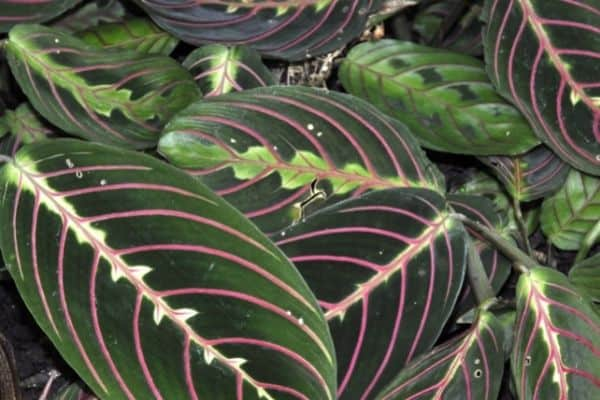picture of prayer plant