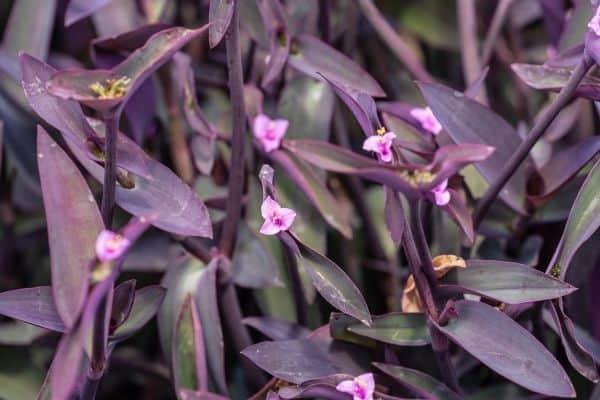 picture of Purple Secretia