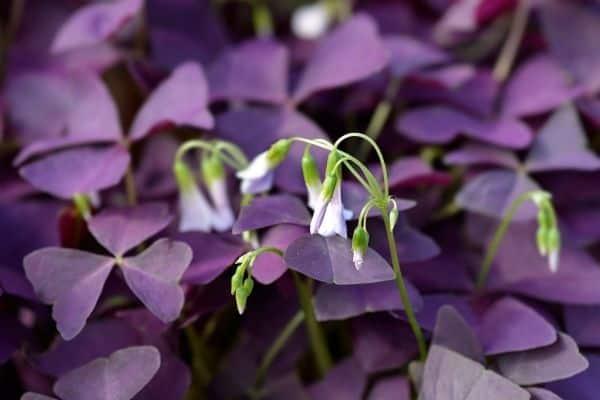 picture of purple shamrock