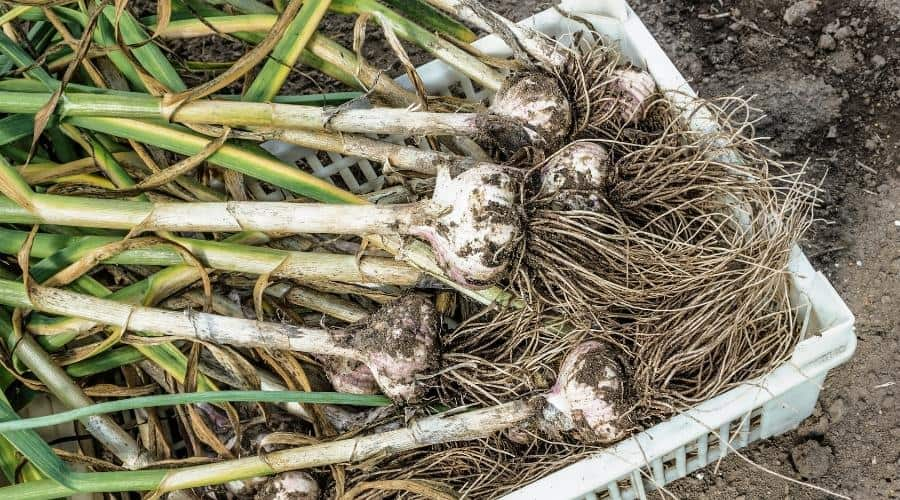 Picture of garlic that newly harvested