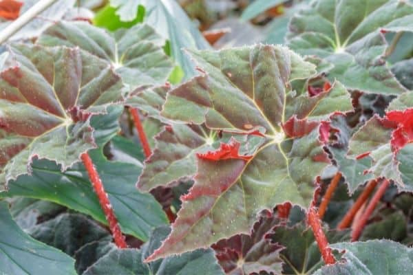 picture of rex begonia