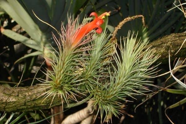 picture of Tillandsia Funkiana
