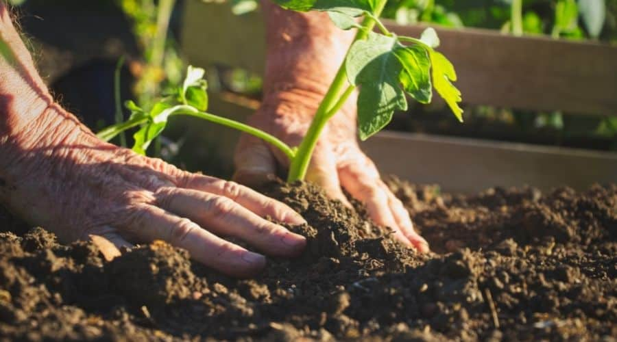 Picture of two hands gardening young plants into bed