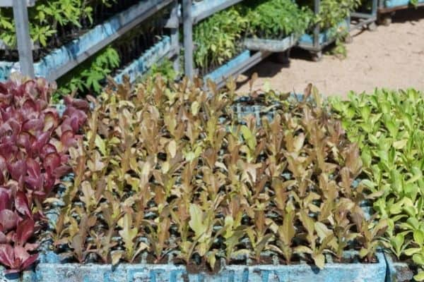 Picture of lettuce variety plants
