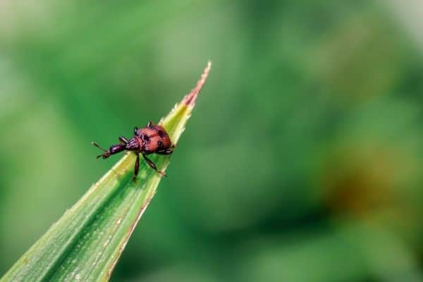 Picture of a plant pest insect