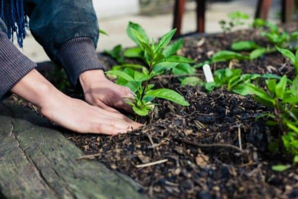 Picture of a female's hand planting small plants