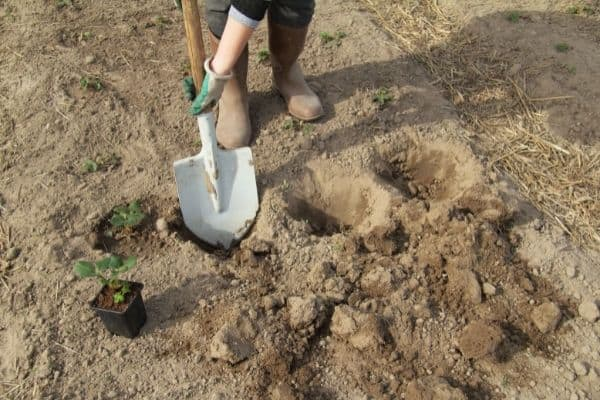 Picture of a gardener with a shovel digging holes for planting seedlings