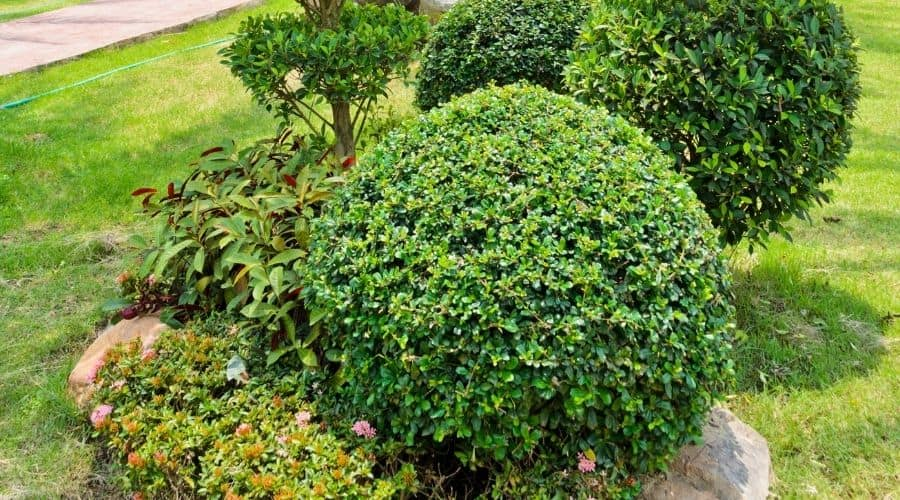 Picture of a dwarf shrubs