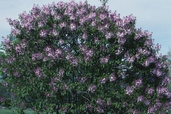Picture of a flowering shrub