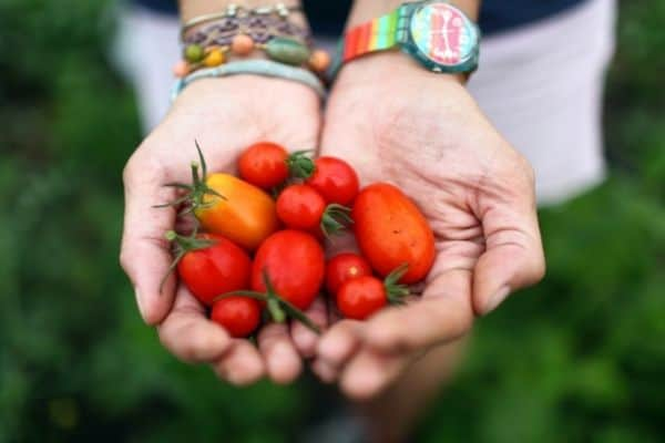 Picture of a woman holding freshly picked cherry tomatoes from the garden