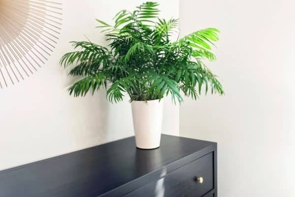 Picture of a parlor palm plant over a black wooden dresser