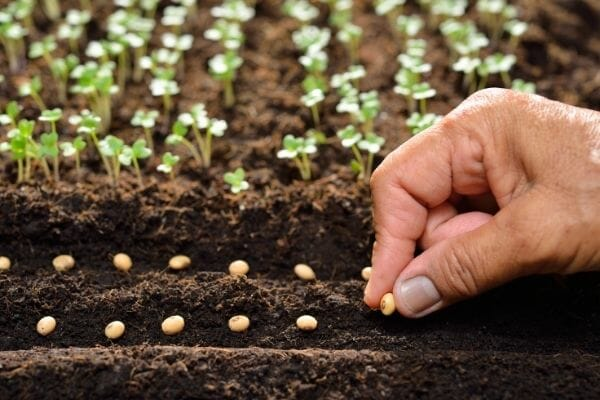 Picture of a farmer's hand planting seeds on soil