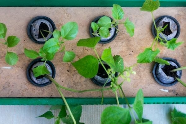 Picture of plants growing in net pots filled with coco coir