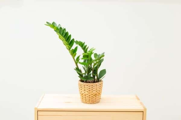 picture of zz plant