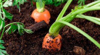 growing carrots with leftover compost