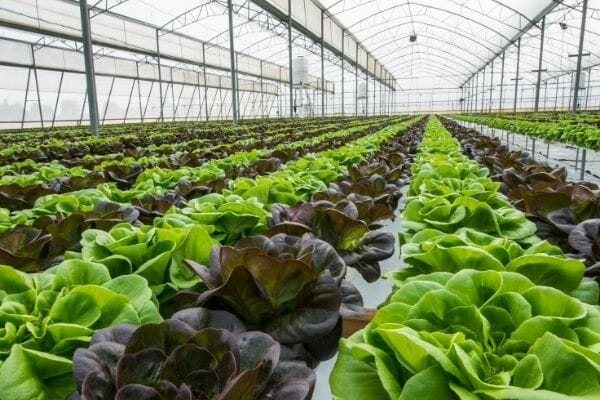 picture of many crops in greenhouse