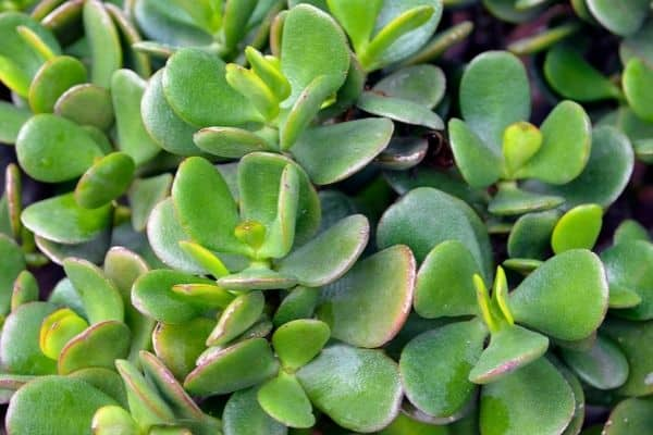 picture of jade plant