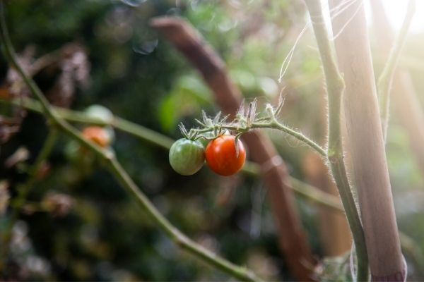 picture of growing tomatoes