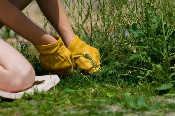 picture of a people picking weeds