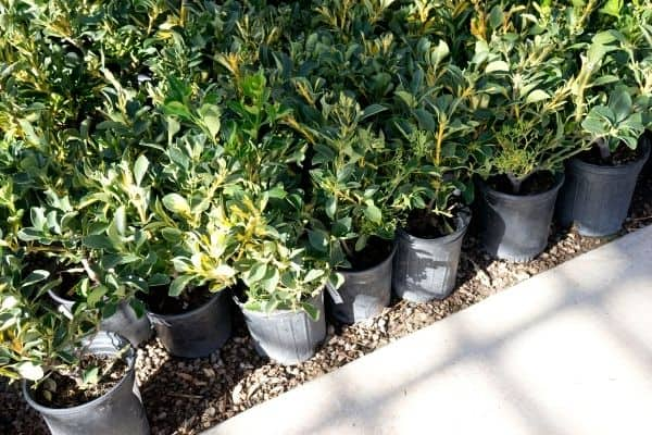 picture of shrubs in pot