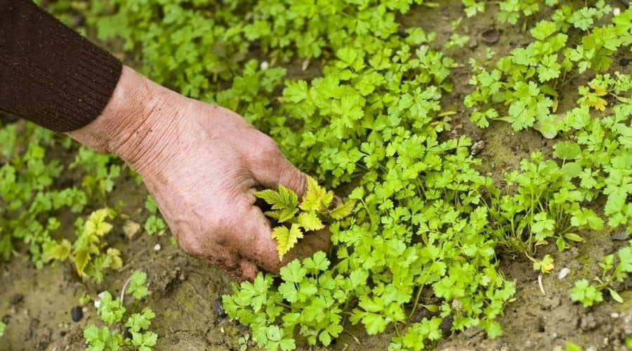 picture of hand picking a weed.
